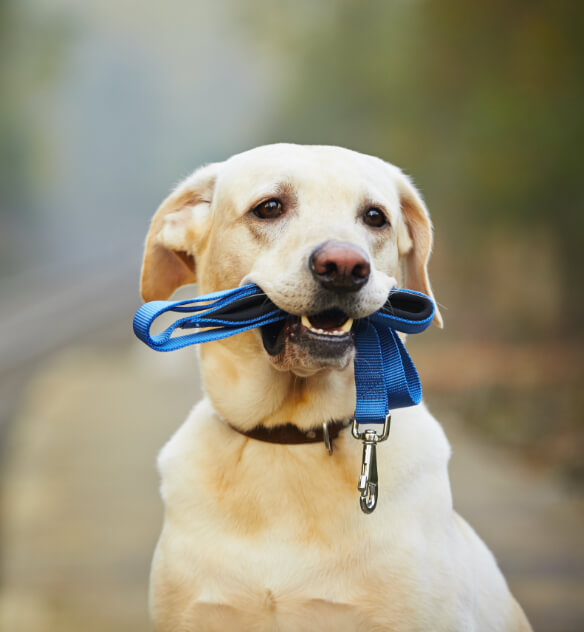 Dog with golden fur outside holding a blue leash in its mouth